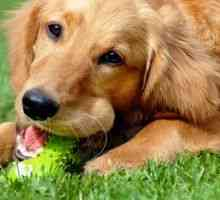 Temperamento del golden retriever