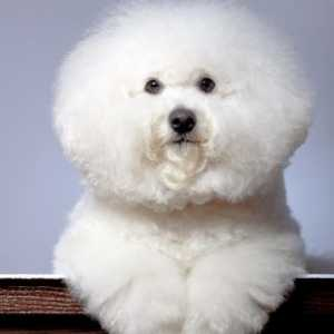 6 Easy tips for awesome bichon frise grooming