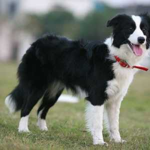 7 Special tips for taking care of a border collie