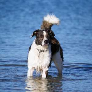Border collie dog breed: cosa devi sapere