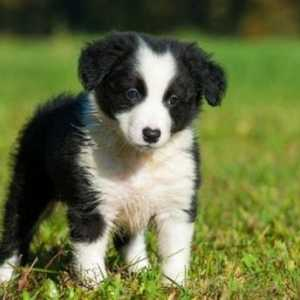 Cinque adorabili video di border collie del 2017
