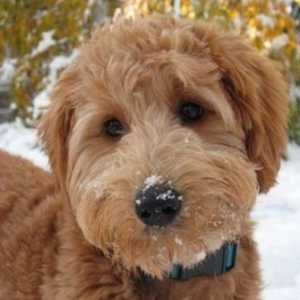 I video più carini di goldendoodle del 2017